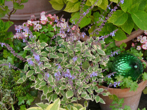 Plectranthus parviflorus 'Limplep 1', Garten Petra Steiner