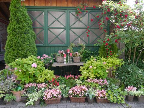 Begonia semperflorens 'Volumia Rose Bicolor', Hortensien und Rosa multiflora 'Chevy Chase' Garten Petra Steiner