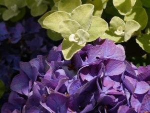 Helichrysum petiolare, Lakritz-Strohblume und Hydrangea 'Deep Purple', Garten Petra Steiner