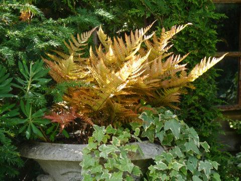 Dryopteris erythrosora var. prolifica, Rotschleierfarn im Garten Petra Steiner