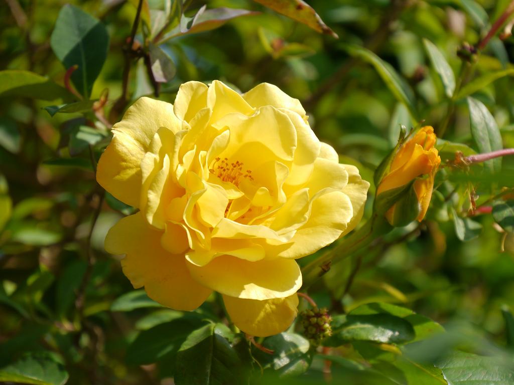 Rosa 'Golden Gate', Garten Petra Steiner