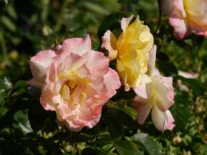 Rosa 'Moonlight', Garten Petra Steiner