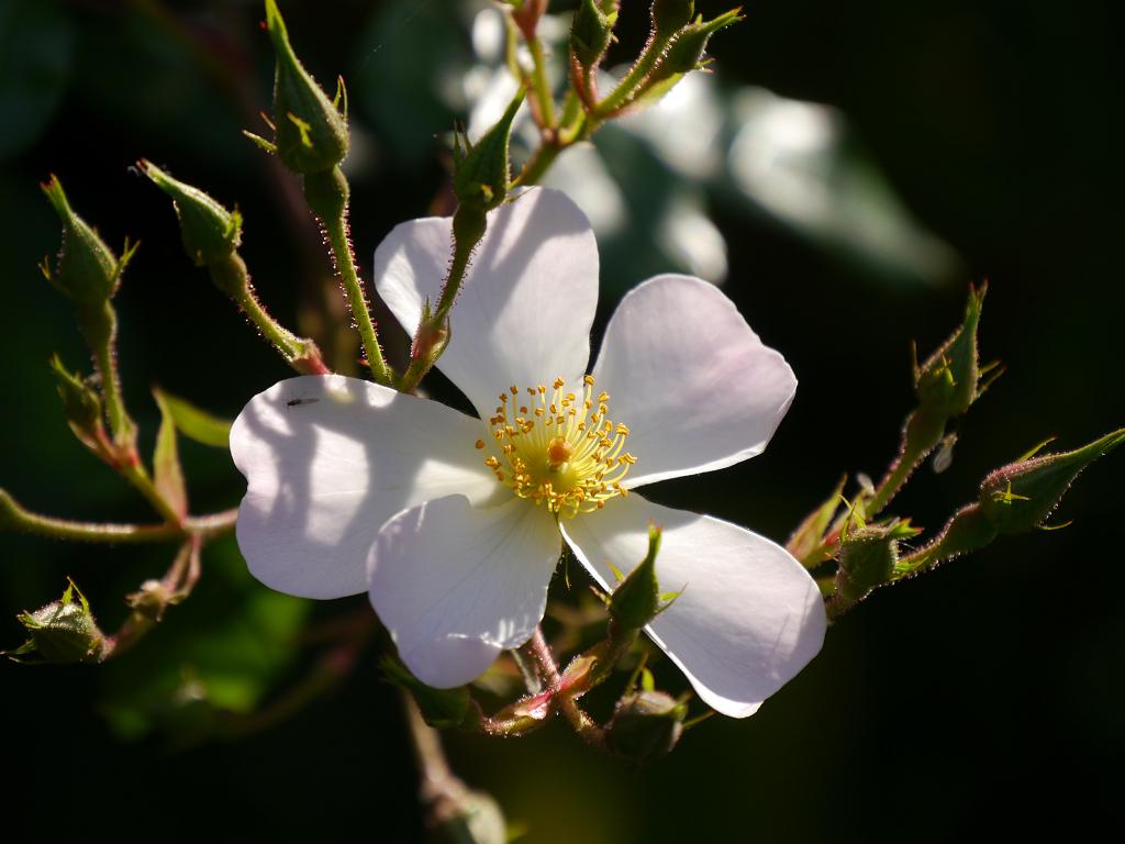 Rosa 'Apfelblüte' Garten Petra Steiner