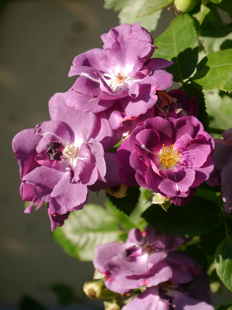 Rosa 'Rhapsody in Blue' im Garten Petra Steiner