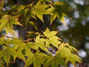 Ahorn mit beginnender Herbstfärbung