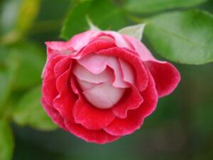 Rosa 'Schöne Koblenzerin', Garten Schroth