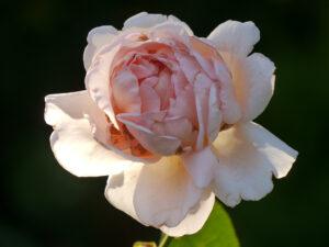Rosa 'Aphrodite' im Garten Schroth
