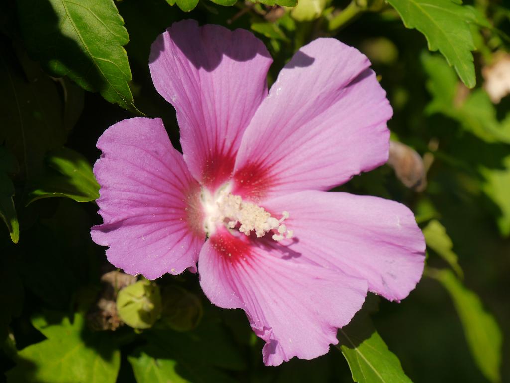 Hibiscus syriacus, Garten Schroth