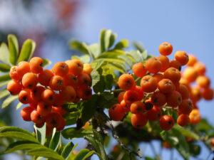 Die Ebereschen (Sorbus) tragen schon Früchte