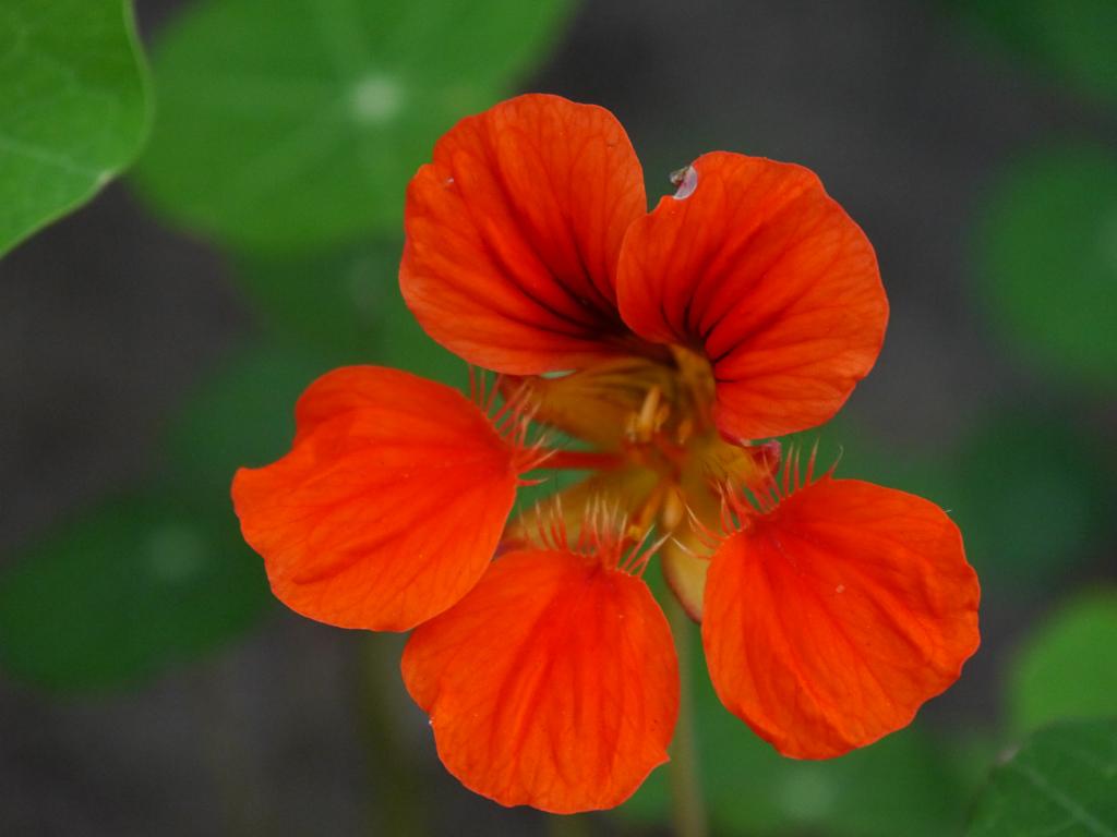 Kapuzinerkresse, Tropaeolum majus, Garten Schroth