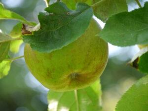 Apfel auf der Obstbaum-Wiese, Garten Schroth