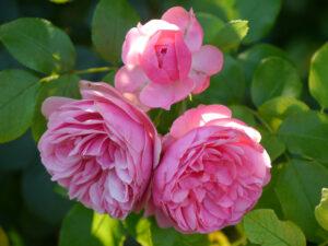 Rosa 'Leonardo da Vinci', Garten Schroth