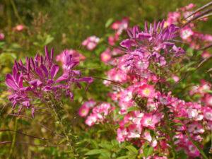 Sichtungsgarten Weihenstephan, Rosa 'Mozart' und Cleome hassleriana in den Purpurbeeten