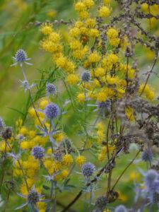 Die Goldaster und ein hübsches Eryngium im Sichtungsgarten Weihenstephan