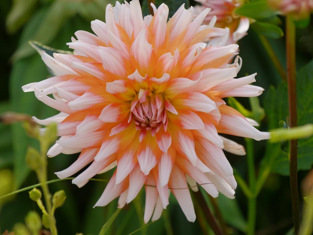 Kaktusblütige Dahlie, Sichtungsgarten Weihenstephan