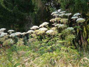 Selinum wallichianum, Himalaja-Silge im Hellen Garten des Staudensichtungsgartens Weihenstephan