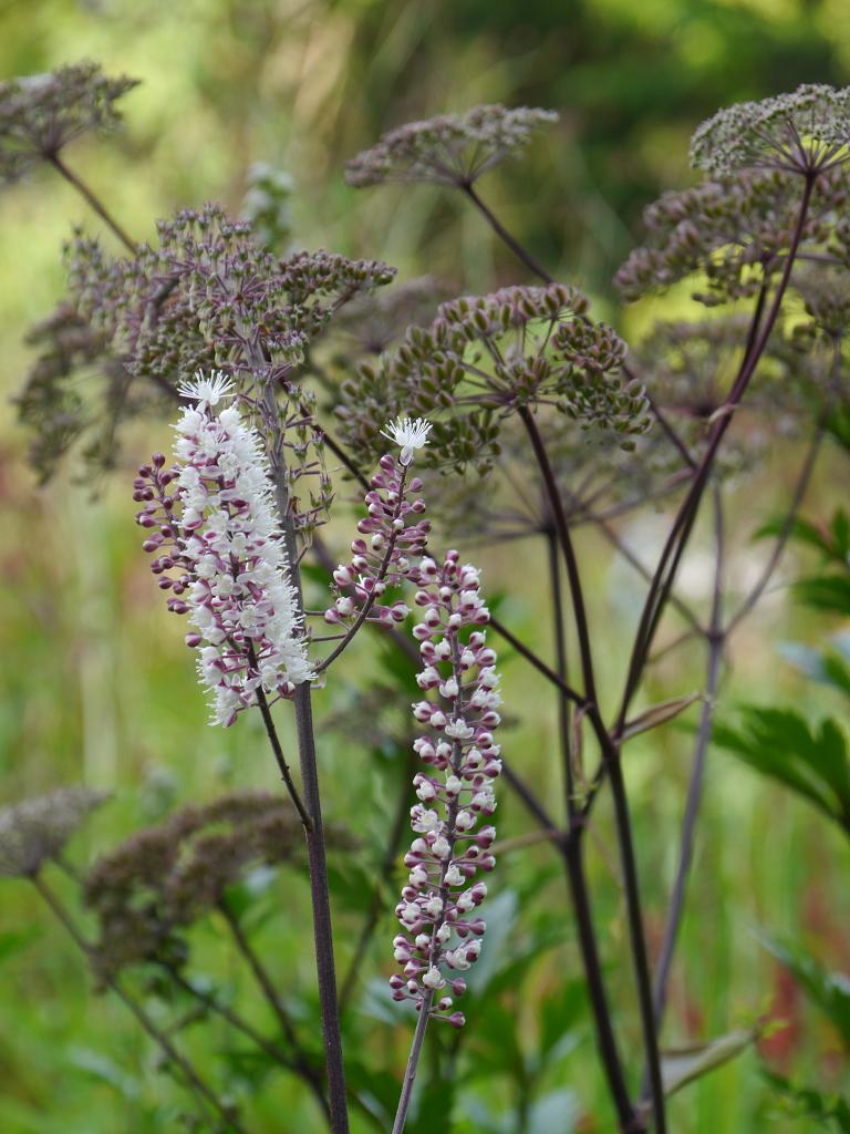 Actaea simplex 'Chocoholic' im Hellen Garten des Staudensichtungsgartens Weihenstephan