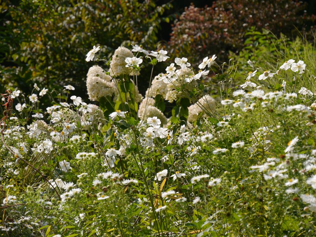 Im Hellen Garten ist jetzt die Zeit der Herbstanemonen, weißen Astern und letzten Hortensienblüten gekommen.