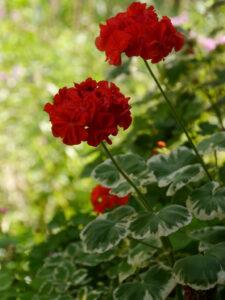 Pelargonien lieben den heißen August, Wurzerls Garten
