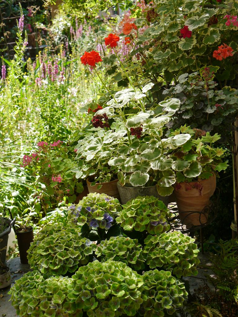 Die Pelargonien auf der Terrasse, Wurzerls Garten