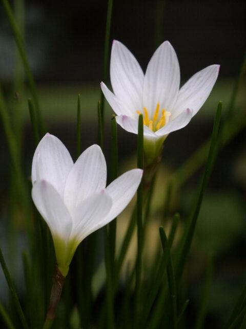 Zephiranthes candida, Wasser-Krokus, Wurzerls Garten