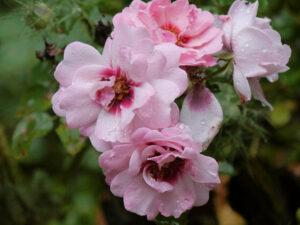 Rosa 'Bright Eyes', Wurzerls Garten