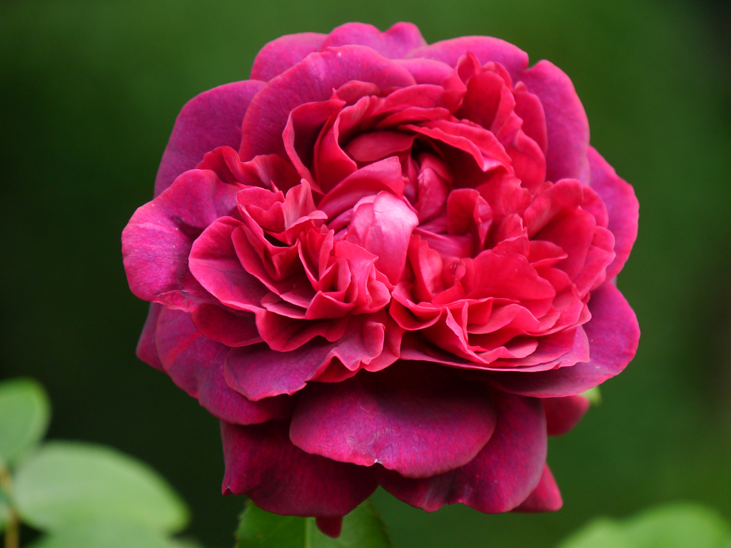 Rosa 'Dark Lady', Wurzerls Garten