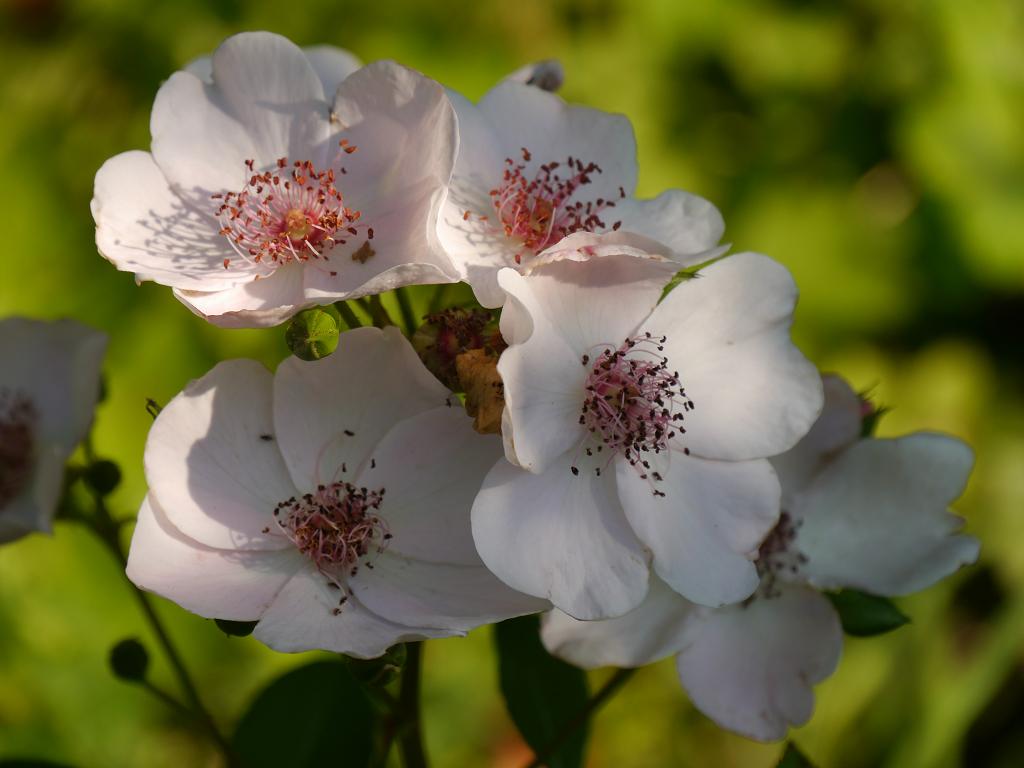 Rosa 'Sweet Pretty', Wurzerls Garten