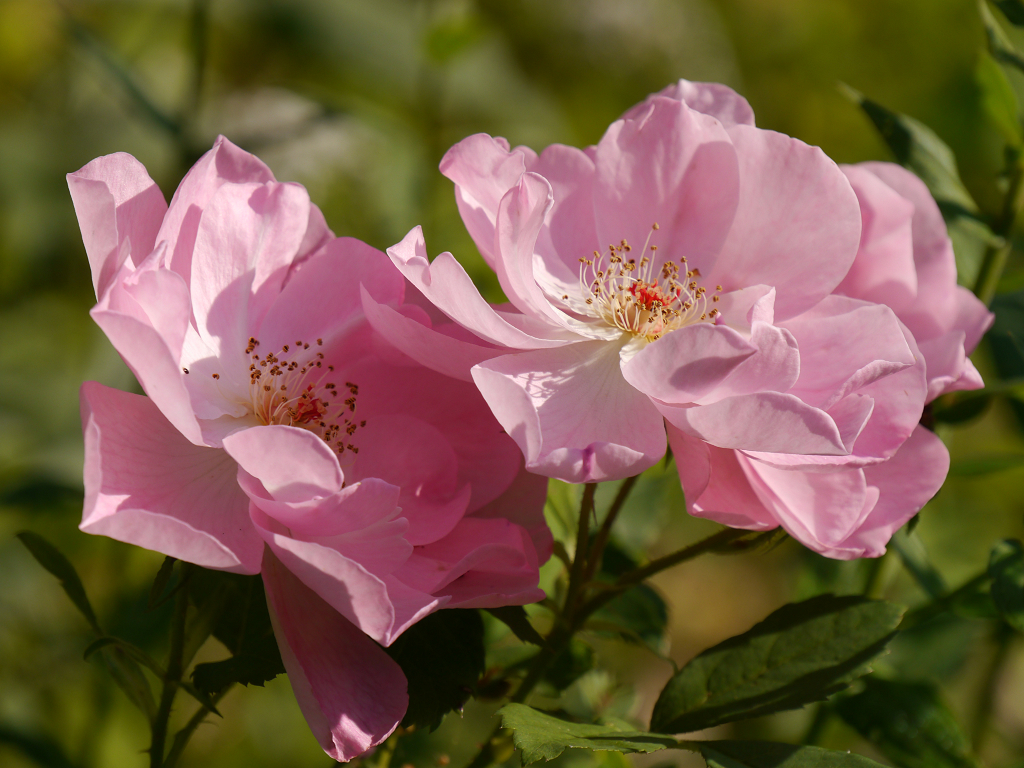 Rosa 'The Lady's Blush', Wurzerls Garten