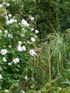Hibiscus syriacus und Miscanthus variegatus, Wurzerls Garten