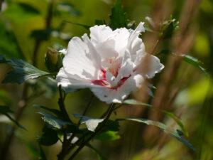 Hibiscus syriacus, Wurzerls Garten