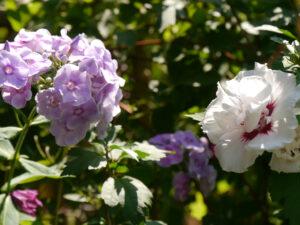 Russischer Phlox im Flirt mit Hibiscus syriacus, Wurzerls Garten