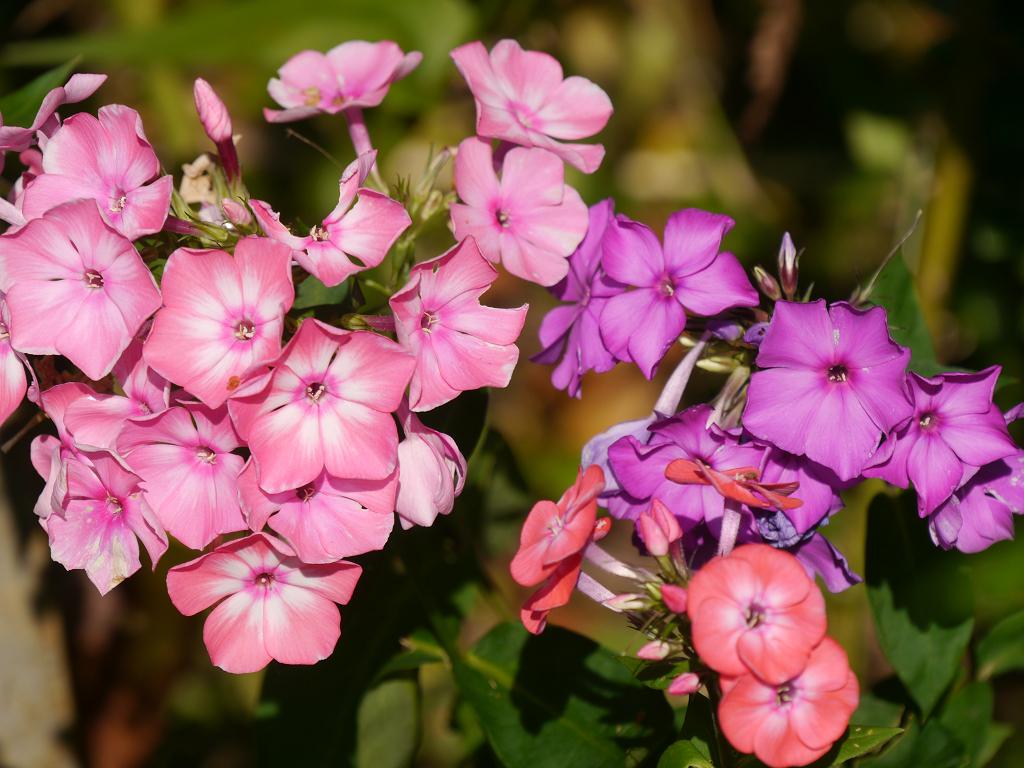 Phlox in Wurzerls Garten