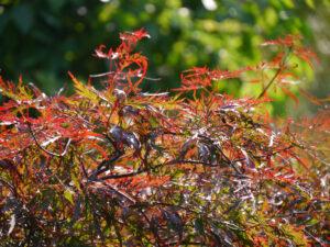 Fächerahorn in Wurzerls Garten