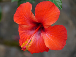 Hibiscus rosa-sinensis, Dominikanische Republik