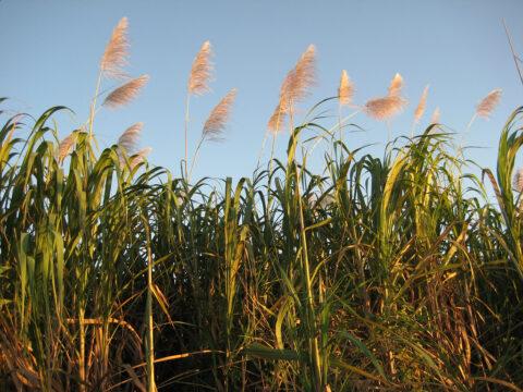 Zuckerrohr-Felder in der Dominikanischen Republik
