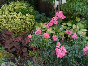 Rose 'Frankfurter Palmengarten', Eulengarten Martina Krause Braunschweig