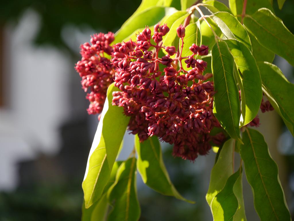 Bienenbaum, Tetradium daniellii var. hupehensis syn. Euodia Martina Krause Braunschweig