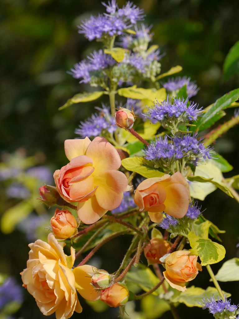 Rosa 'Ghislaine de Feligonde', Caryopteris clandonensis 'Summer Sorbet', Eulengarten Martina Krause, Braunschweig