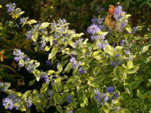 Caryopteris clandonensis 'Summer Sorbet', Eulengarten, Martina Krause, Braunschweig