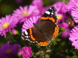 Schmetterling 'Admiral', Eulengarten, Martina Krause, Braunschweig