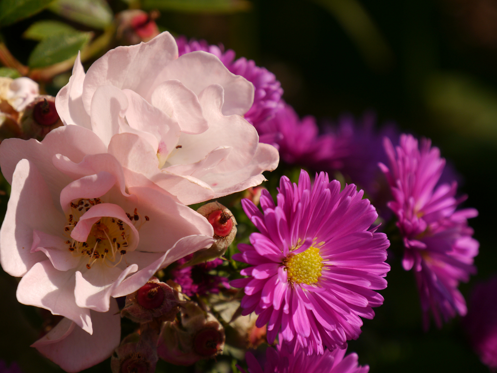Rosa 'Open Arms' und Aster, Eulengarten, Martina Krause,