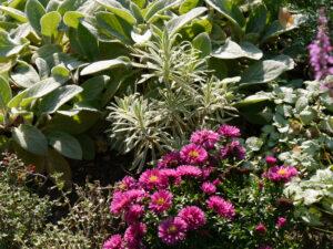 Kissenaster 'Rubin', Euphorbia 'Tasmanian Tiger', Stachys 'Big Ears', Lamium, Eulengarten, Martina Krause