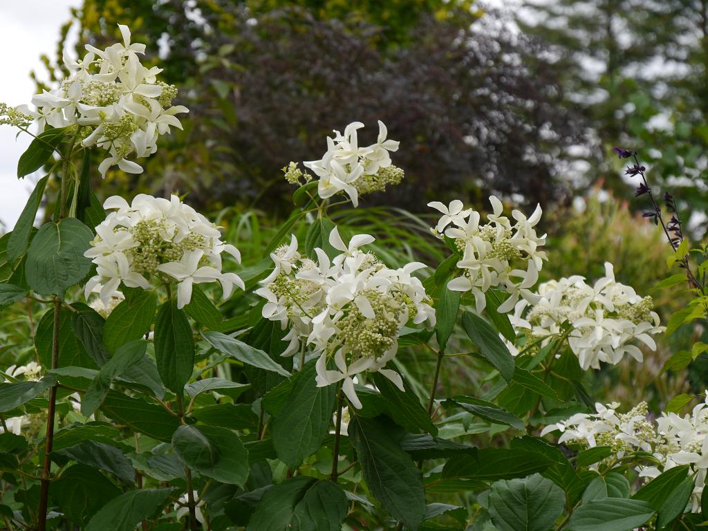 Hydrangea 'Great Star', Moorjuwel, Hedwig Weerts