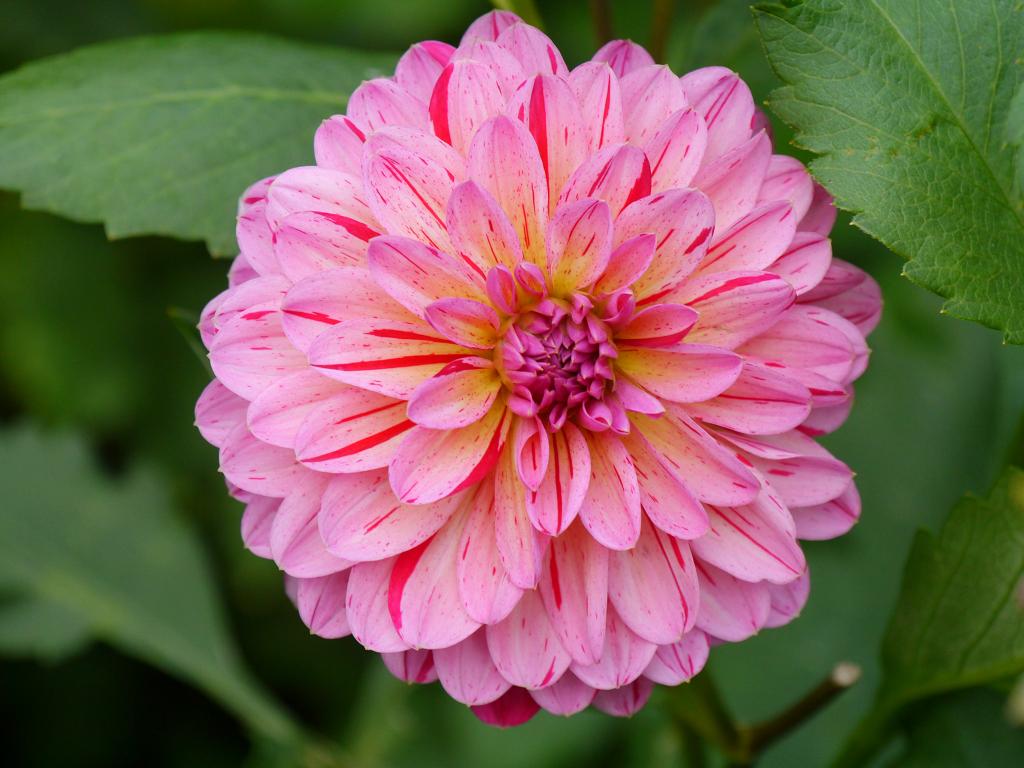 Dahlia 'Tropical', Moorjuwel, Hedwig Weerts
