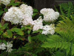 Hydrangea 'Magical Moonlight', Moorjuwel, Hedwig Weerts