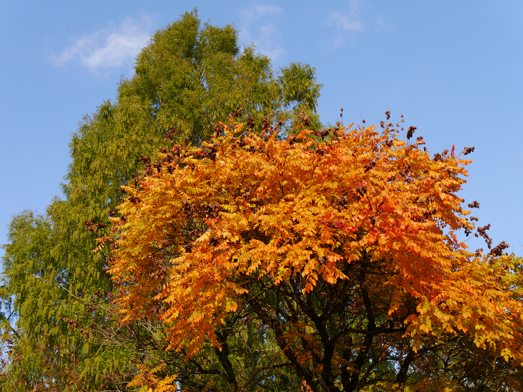 Koelreuteria paniculata, Sichtungsgarten Weihenstephan
