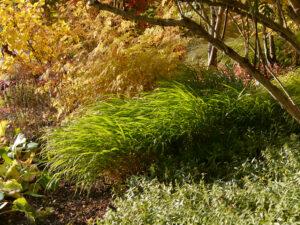 Japanisches Waldgras, Hakonechloa macra, im Gehölzrand des Sichtungsgartens Weihenstephan