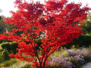 Acer palmatum 'Atropurpureum', japanischer Ahorn, Sichtungsgarten Weihenstephan