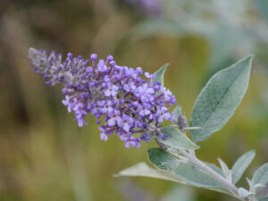 Buddleja 'Buzz Lavender', Sichtungsgarten Weihenstephan